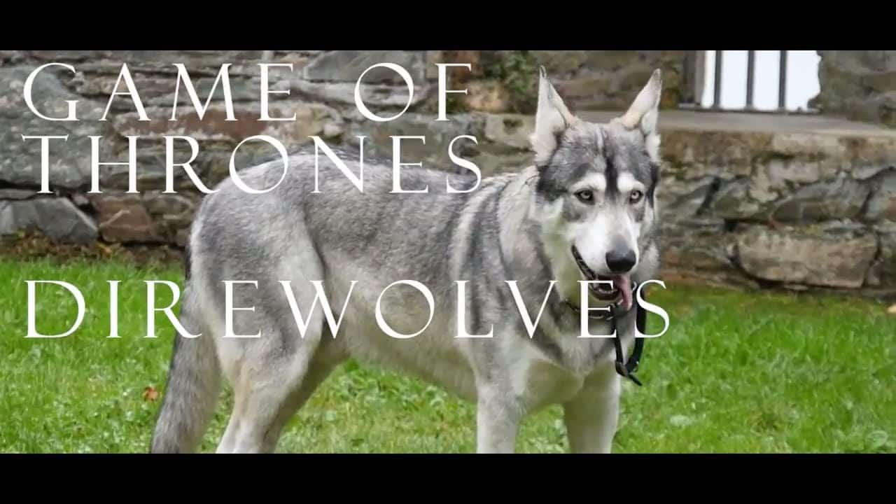 the real direwolves from game of thrones connolly cove. Black Bedroom Furniture Sets. Home Design Ideas