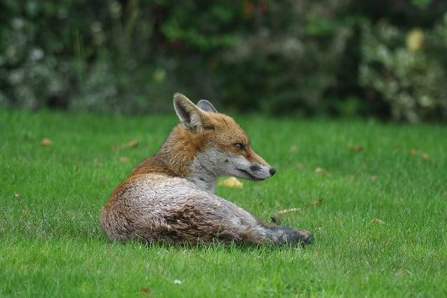 Fox Image Example