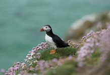 Puffin on Saltee Island