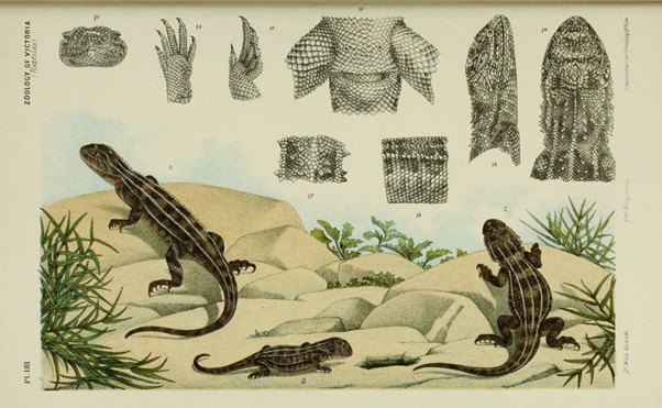 victorian zoological illustration