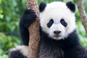 A gentle giant panda looks at the camera quizzically