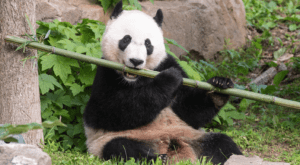 A giant panda chews on a large stick of bamboo