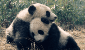 a pair of giant pandas snuggle against one another