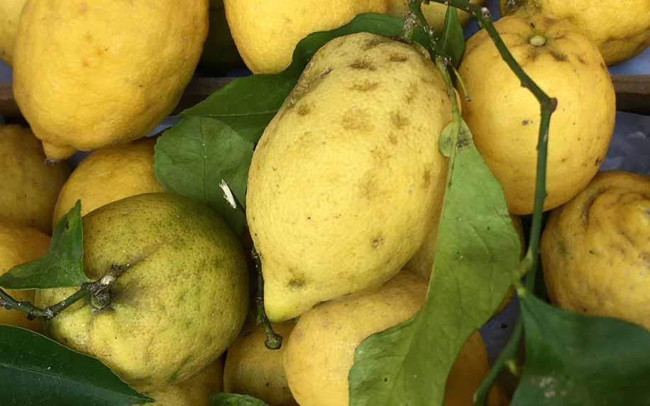 Amalfi lemons in Sorrento