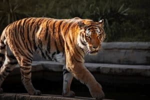 A beautiful photo of a tiger in the sunlight