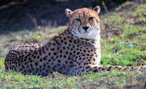 A cheetah in the sunlight laying in the grass