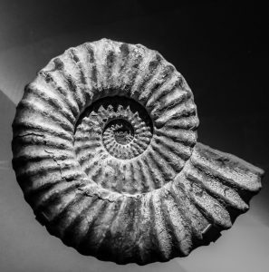 A shell fossil in a museum