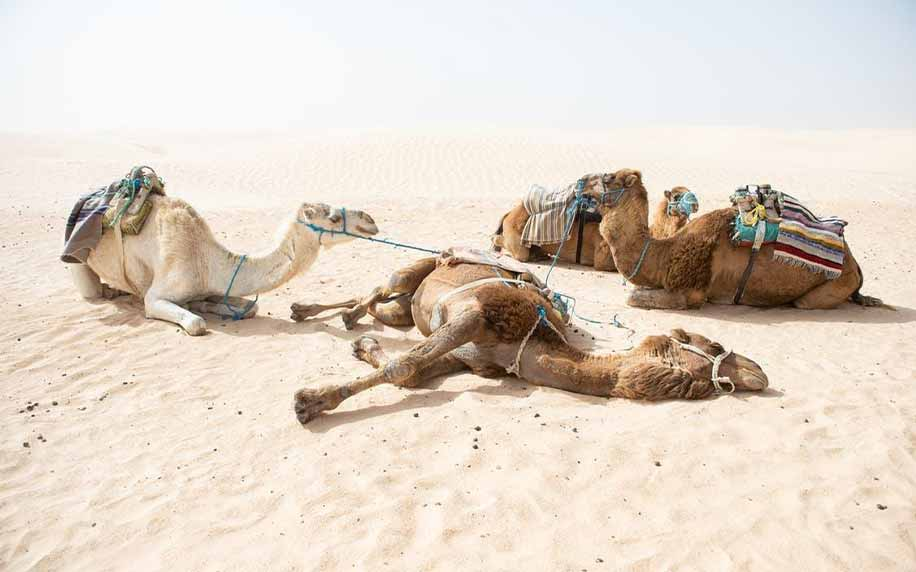 camels relaxing in the sand