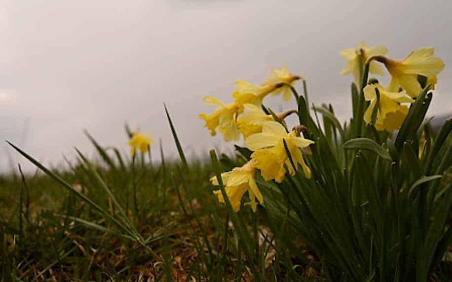 a picture of daffodils in the field