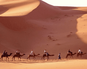 A string of camels make a trek along the Siwa Oasis