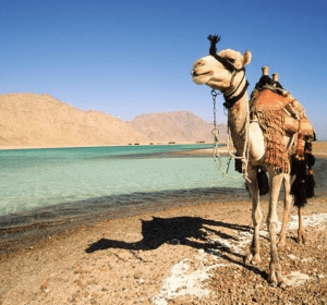 A camel stands besides the Blue Lagoon in Dahab