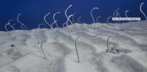 Tiny eels poke their heads from the sand in the Eel Garden located in Dahab