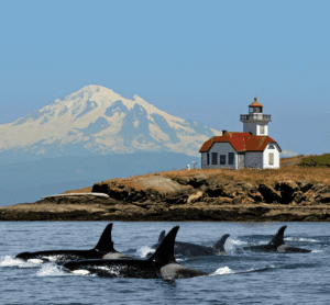 A pod of Orcas swim by the light house on San Juan Island in the Pacific Northwest