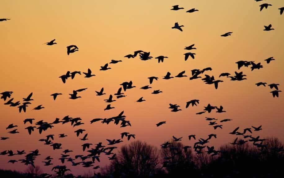 Bird migration at Zaraniq in Al Arish