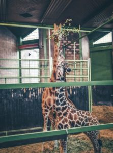 two giraffes reach for the same branch at the Belfast zoo